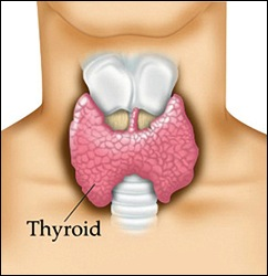 thyroid gland, fibro and low thyroid article by Dr. Rodger Murphree